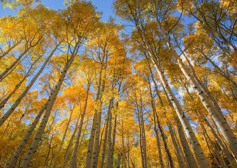 A view of yellow aspen foregrounded against a cerulean sky
