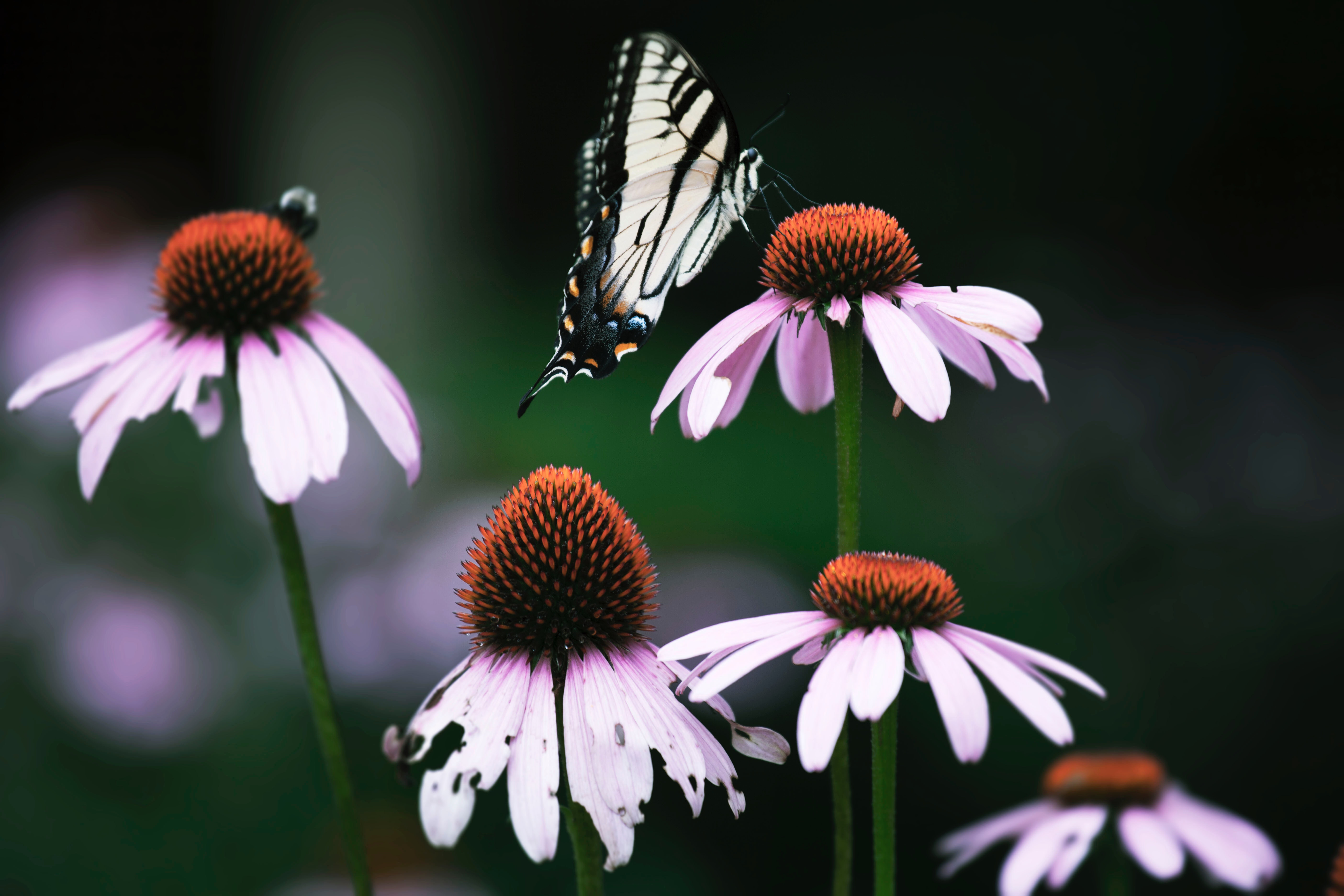 A butterfly drinking from prairie coneflower