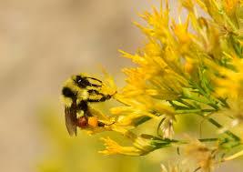 Bumble bee on Ericamera nauseosa
