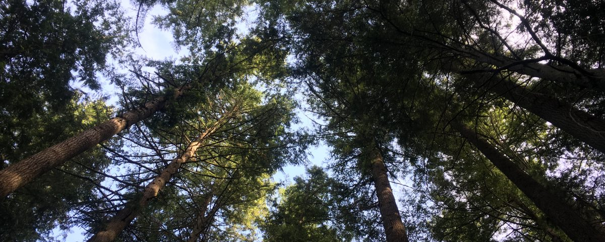 Looking up at tall, coniferous trees toward a blue sky