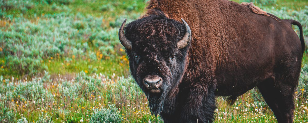 A single bison facing the camera, in a forb-dominated prairie
