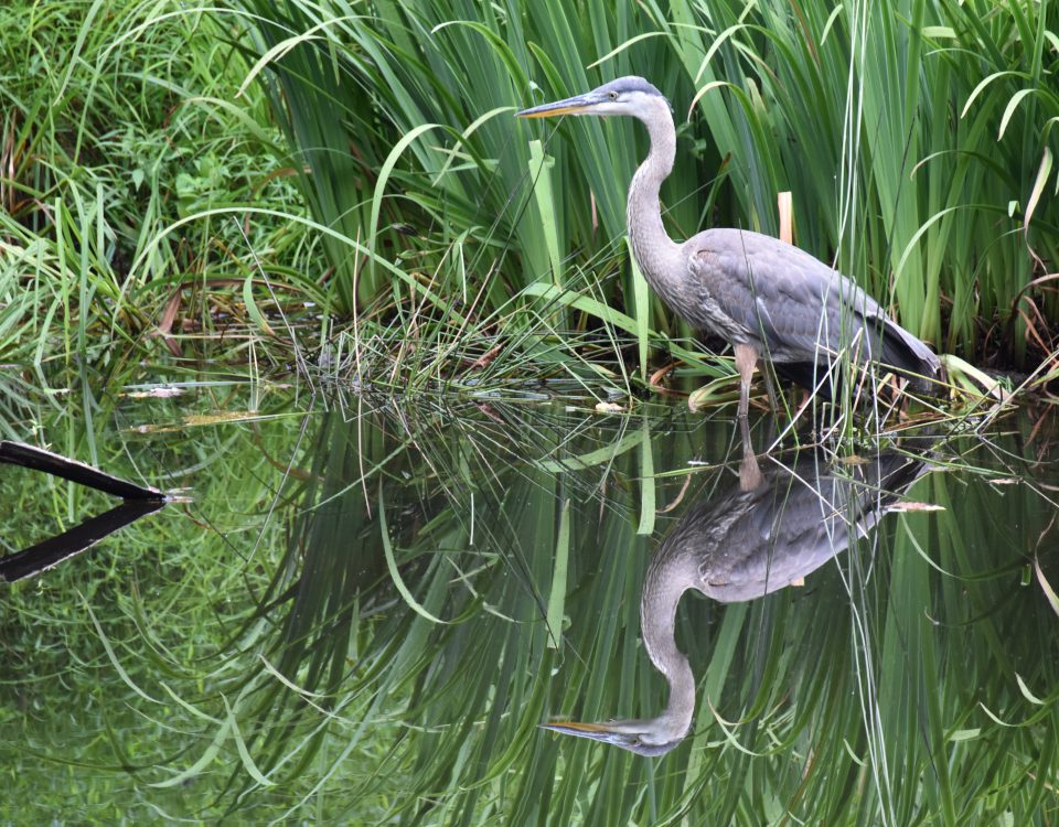 Great Blue Heron hunting in a pond, with cattail in the background