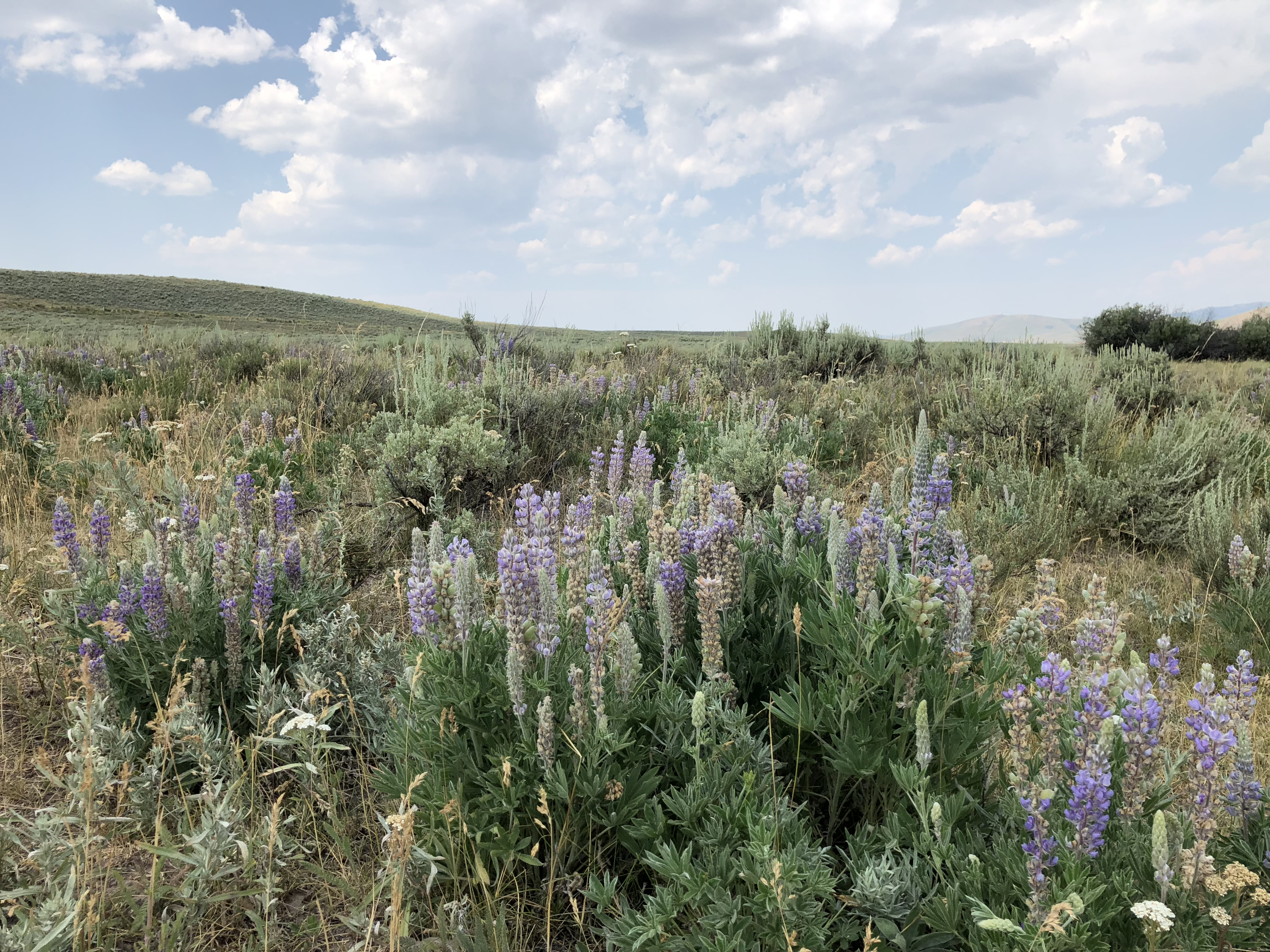 Lupine, yarrow, and sagebrush in a field on a partially cloudy day