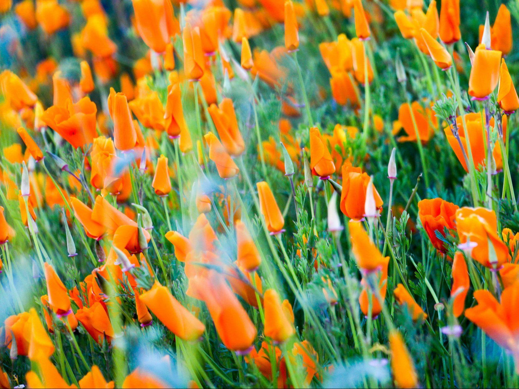 Celebrating California Poppy Day