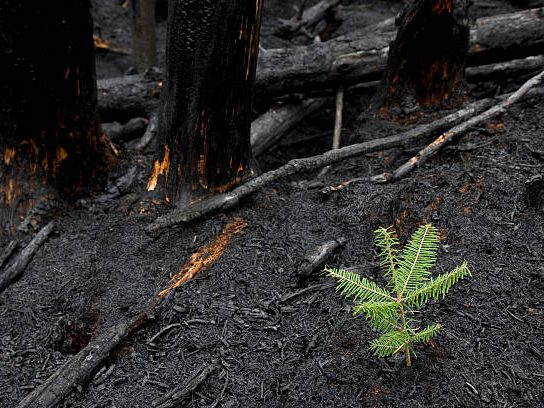New tree growing in burned forest